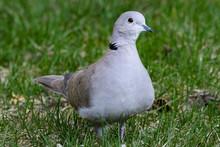 Eurasian Collared Dove Standin...