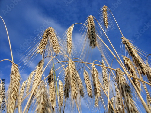 Ripe barley ready for the harvest Canvas Print
