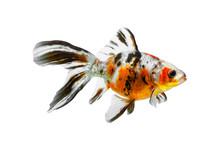 Colorful Gold Fish Isolated On White Background, Colorful Carassius Auratus, Orange Black Yellow Shubunkin