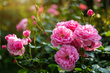 Beautiful Pink Rose On The Rose Garden In Summer In A Garden.