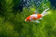 Koi Fish Background Plants