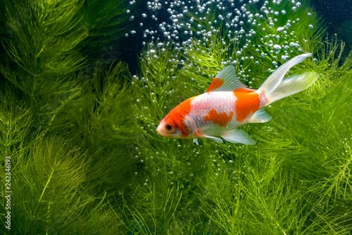 Obraz na plátně Koi fish background plants