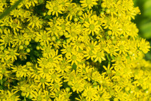 Yellow Flower Cluster On A Aeo...