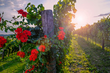 Red Roses And Vineyard In Vipava Valley, Slovenia.