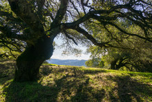 Large Oak Tree Providing Shade, Sugarloaf Ridge State Park, Sonoma County, California