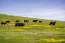 Cattle Grazing Among Spring Wildflowers, South San Francisco Bay, California