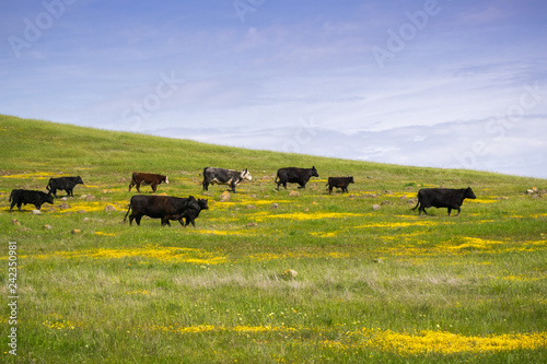 Photo Cattle grazing among spring wildflowers, south San Francisco bay, California