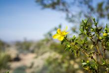 Creosote Bush (Larrea Tridentata) Blooming In Joshua Tree National Park, California
