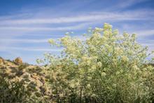 Lepidium Fremontii (desert Pepperweed)  Blooming In Joshua Tree National Park, California