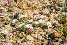 Desert Star (Monoptilon Bellioides) Blooming In Joshua Tree National Park, California