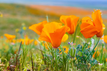Close Up Of California Poppies (Eschscholzia Californica) During Peak Blooming Time, Antelope Valley California Poppy Reserve