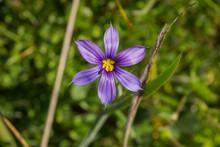 Close Up Of Blue-Eyed Grass (S...