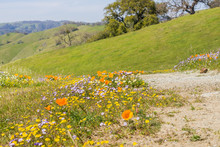Hiking Trail Lined Up With Fresh Green Grass And Colorful Wildflowers, Henry W. Coe State Park, California