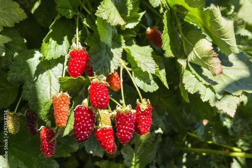 bunch of boysenberries ripening on boysenberry bush