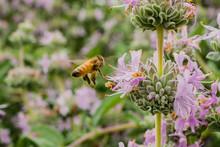 Honey Bee Gathering Nectar From Purple Sage (Salvia Leucophylla) Flowers In Spring, California