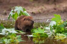 North American Beaver (Castor ...