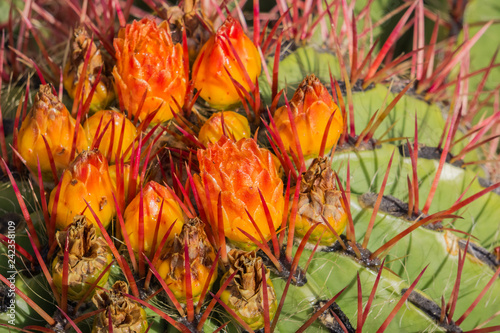 Close up of bright orange flowers on top of large barrel cactus