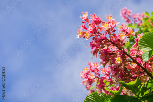 Photo Red horse-chestnut blooming in spring, San Francisco bay, California