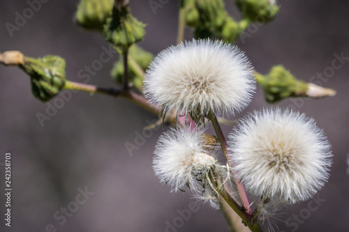 Fototapeta Close up of sow thistle puff ball, Napa Valley, California