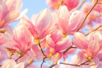 Panel Szklany Do salonu Magnolia blossom