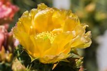 Prickly Pear (Opuntia Fragilis) Cactus Flower, California