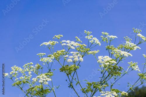 Conium maculatum (hemlock or poison hemlock) is a highly poisonous flowering pla Canvas Print