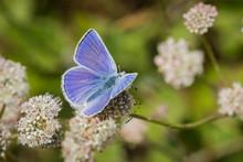 Anna's Blue (Plebejus Anna) Butterfly Sitting On A Seaside Buckwheat (Eriogonum Latifolium) Wildflower, Marin Headlands, San Francisco Bay Area, California