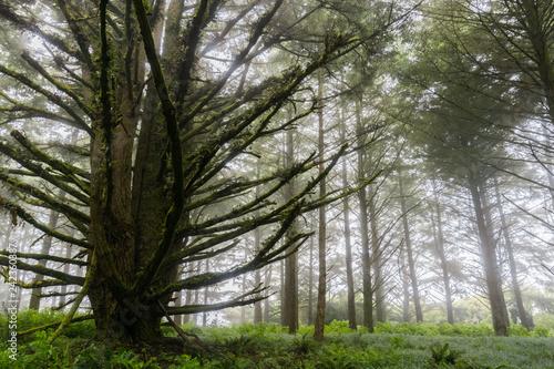 Forest engulfed by fog, San Francisco bay, California
