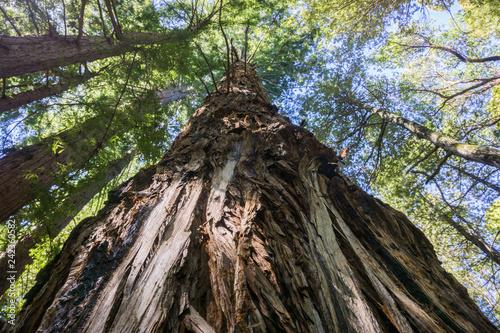 Tall Redwood tree (Sequoia sempervirens), California Fototapet