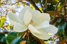 Scented Magnolia Grandiflora Flower, California
