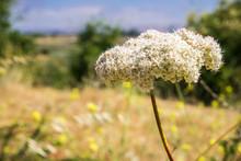 California Buckwheat (Eriogonum Fasciculatum) Wildflower, San Francisco Bay Area, California
