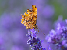 Comma Butterfly ( Polygonia C-...