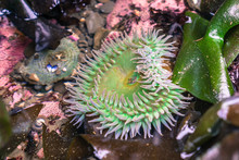 Giant Green Anemone, Fitzgeral...