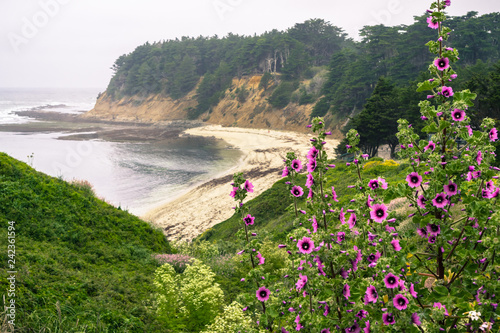 Tree Mallow (Malva Arborea) blooming on the Pacific Ocean coast, sandy beach in Wallpaper Mural
