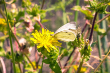 White Cabbage Butterfly Pollinating A False Dandelion Wildflower, California