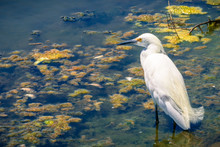 Snowy Egret Hunting At The Shoreline Park And Lake, Mountain View, California