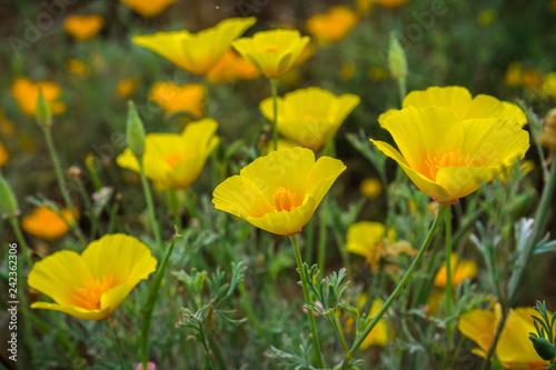 California Poppies (Eschscholzia californica) growing on a meadow, south San Francisco bay, California - 242362306