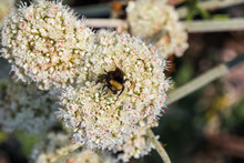 Bumble Bee Pollinating California Buckwheat (Eriogonum Fasciculatum) Wildflowers, California