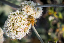 Bee Pollinating California Buckwheat (Eriogonum Fasciculatum) Wildflowers, California