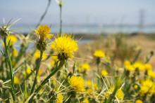 Yellow Star Thistle (Centaurea Solstitialis) Blooming On The Shoreline Of South San Francisco Bay, Sunnyvale, California