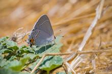 Close Up Of Gray Hairstreak (Strymon Melinus) Butterfly, San Francisco Bay Area, California