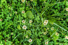 Meadow With White Clover Flowers. Dutch Clover On Lawn In Spring Or Summer Garden. Lawn Carpet With White Clover And Green Grass. Natural Floral Background. Blooming Ecology Nature Landscape