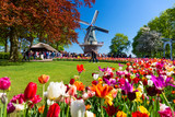 Fototapeta Tulipany - Blooming colorful tulips flowerbed in public flower garden with windmill. Popular tourist site. Lisse, Holland, Netherlands.