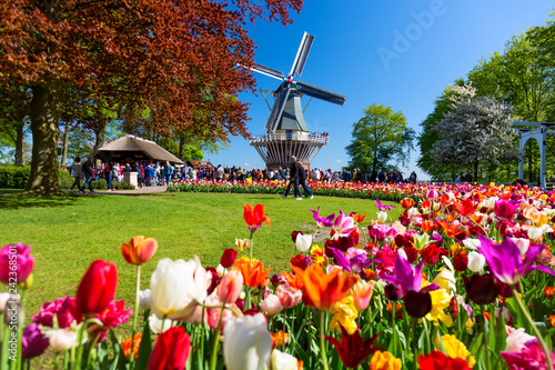 Tuinposter Europese Plekken Blooming colorful tulips flowerbed in public flower garden with windmill. Popular tourist site. Lisse, Holland, Netherlands.