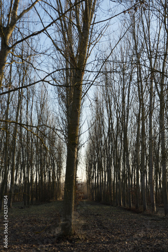 Fotografia  Meadow with poplar trees