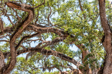 Closeup Low Angle, Looking Up View Of Tall Southern Live Oak Tree Perspective With Hanging Spanish Moss In St Augustine Florida Forming Arches