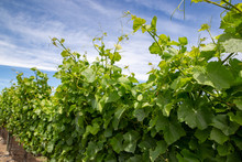 Grape Tendrils Grow Looking For Support Along A Trellis In Summer In A Vineyard In New Zealand