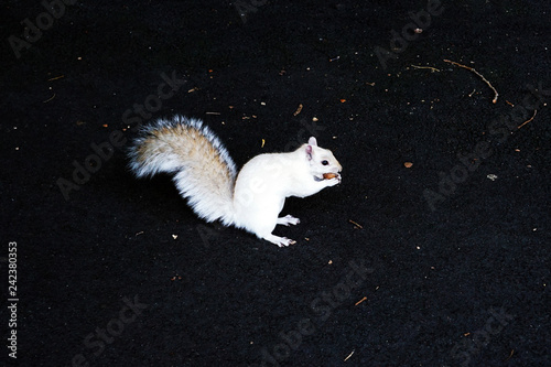 Photo Albino Squirrel