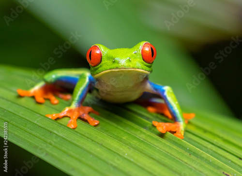 Spoed Foto op Canvas Kikker Red-eyed tree frog (Agalychnis callidryas) portrait, Alajuela, Costa Rica.