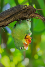 Orange-chinned, Or Tovi Parakeet (Brotogeris Jugularis) Eats A Fruit Hanging Upside Down On A Branch, Puntarenas, Costa Rica